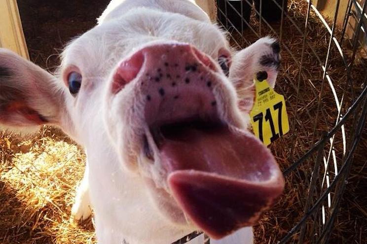 cowsofinstagram